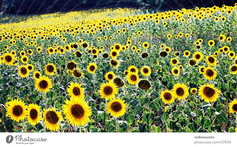 Nature Sun Flower Green Plant Yellow Field Sunflower France Provence