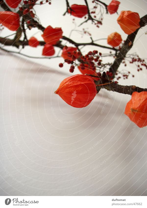 Plant Autumn Orange Fruit Near Branch Botany Twig Berries Shriveled Faded Dried Physalis Part of the plant Early fall