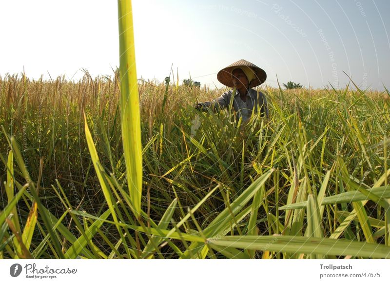 Work and employment Culture Rice farmer