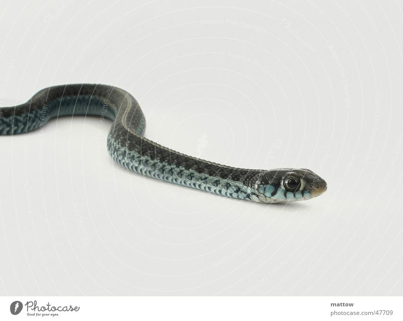 Baby queue 3 Reptiles White Background picture Snake Barn Eyes