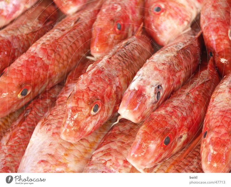 Red Eyes Death Fish Markets Flock Pack