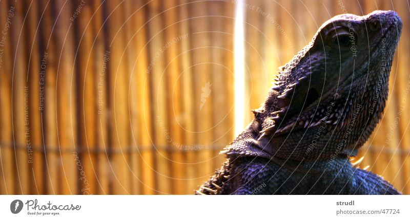 bearded dragon Barbed agame Slowly Thorny Rasping Saurians Reptiles Animal Rough