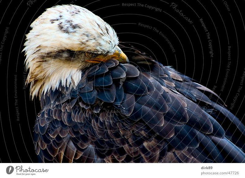 white-tailed eagle Eagle Bird Animal White-tailed eagle African fish eagle Cleaning Black Feather Might