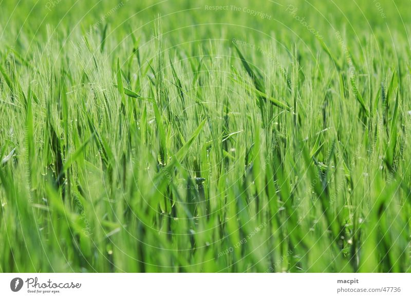 Green Field Grain Blade of grass Ear of corn