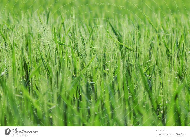 Green Field Grain Blade of grass Ear of corn