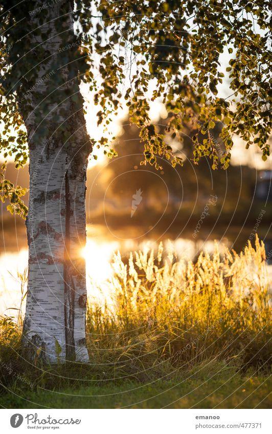 Swedish birch Vacation & Travel Tourism Nature Landscape Plant Water Sun Summer Warmth Tree Grass Leaf Field Lakeside Bay Yellow Gold Birch tree Tree bark White