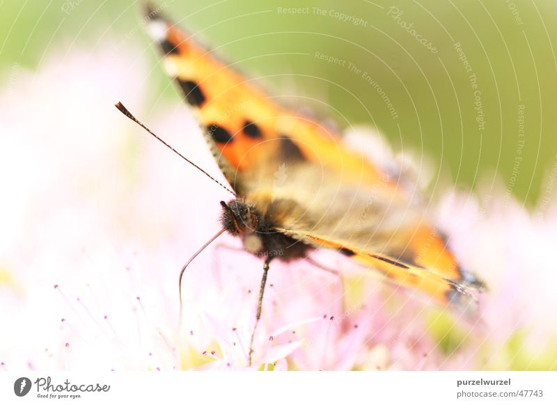 Flying tenderness Butterfly Summer Macro (Extreme close-up) canon eos 20d