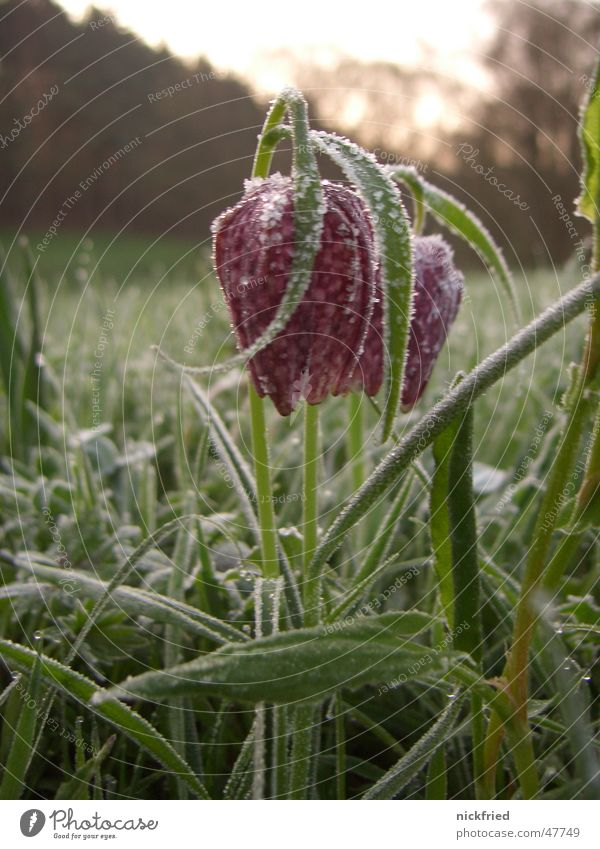 spring awakening Snake's head fritillary Flower Sunrise Dew Spring Meadow Grass Ice crystal Frost