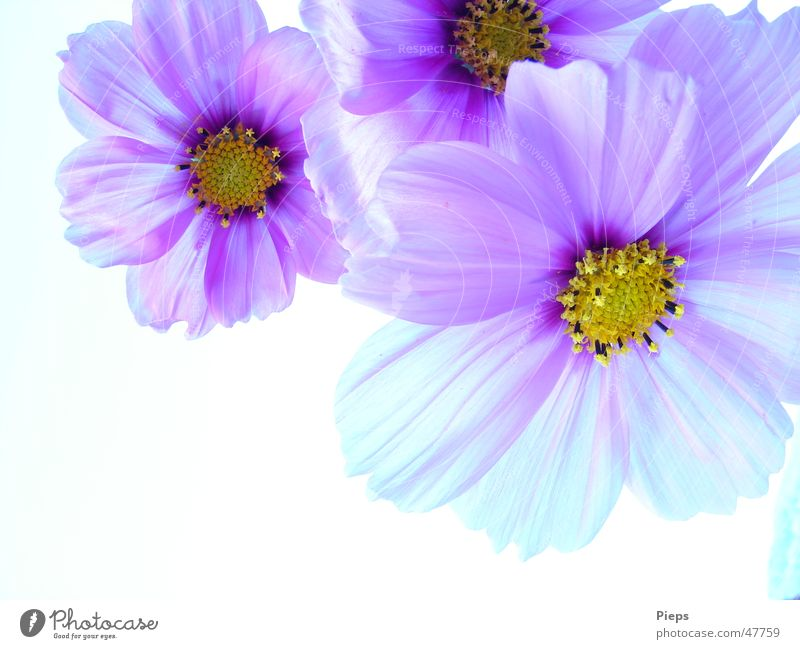 Nature Flower Plant Summer Blossom Spring Garden 3 Happiness Violet Transience Blossoming Harmonious Cosmos