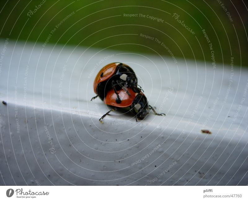 Nature Animal Beetle Ladybird Cuddling