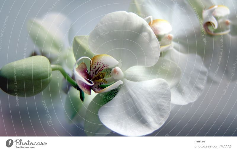 orchi Orchid White Flower Romance Spring Structures and shapes Bud Blossoming