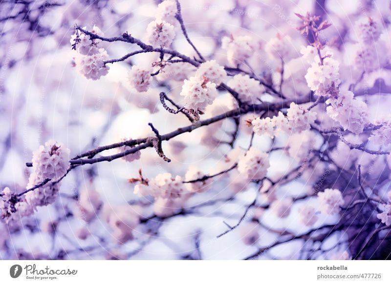 Nature Plant Spring Blossom Blossoming Fragrance Cherry blossom