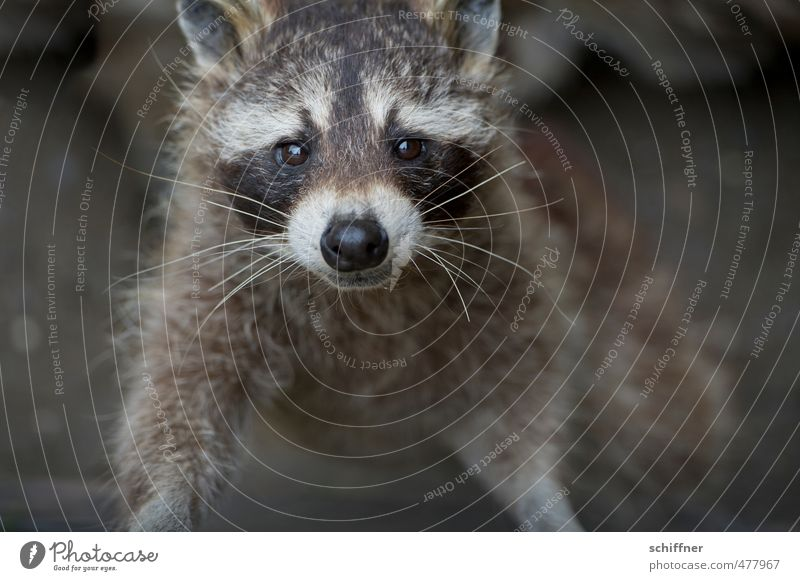 Black-and-white gray. and a little brown Animal Wild animal Animal face Pelt 1 Dirty Gray White Raccoon Beautiful Cute Grinning Comical Coat color