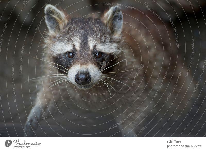 Beautiful White Animal Black Gray Wild animal Friendliness Desire Pelt Animal face Paw Grinning Comical Beg Button eyes Raccoon