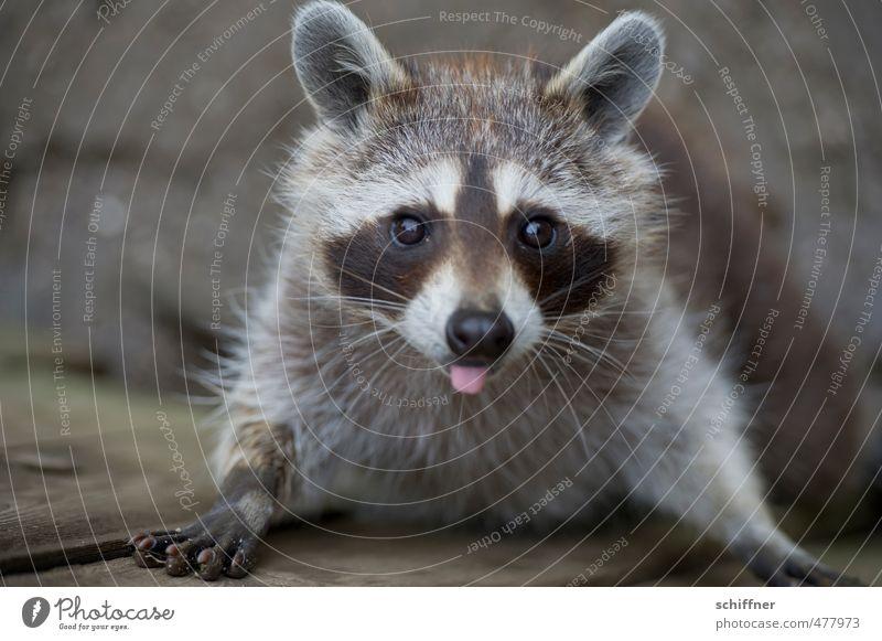 Beautiful White Animal Black Gray Wild animal Cute Pelt Animal face Brash Paw Tongue Thorny Claw Comical