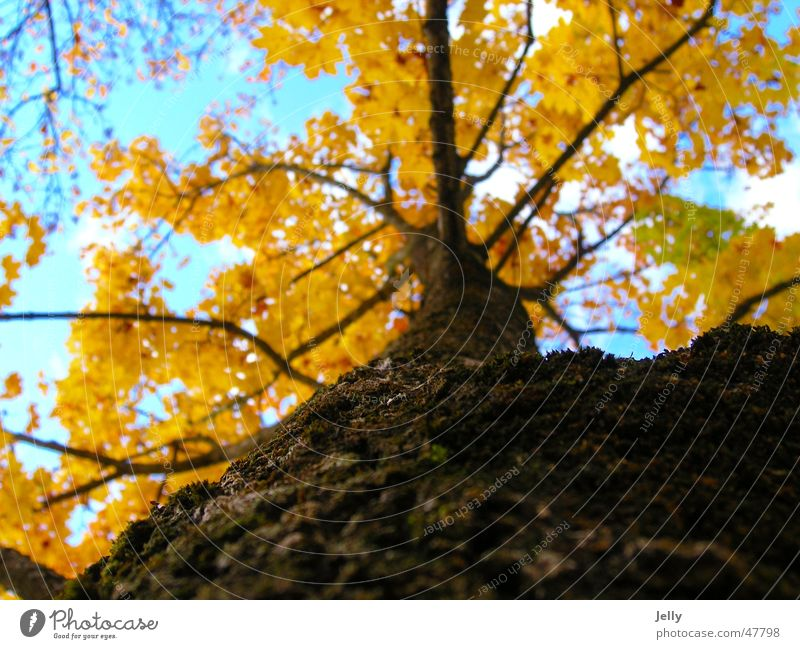 Nature Sky Tree Leaf Clouds Yellow Brown Branch Tree bark Blue-white