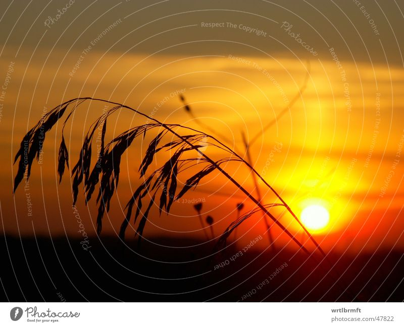 Grass in front of the sun Sunset Red Yellow Gray Blade of grass Black Colour transition Clouds Sunbeam Plant Stalk Back-light Color gradient Sky Evening Orange