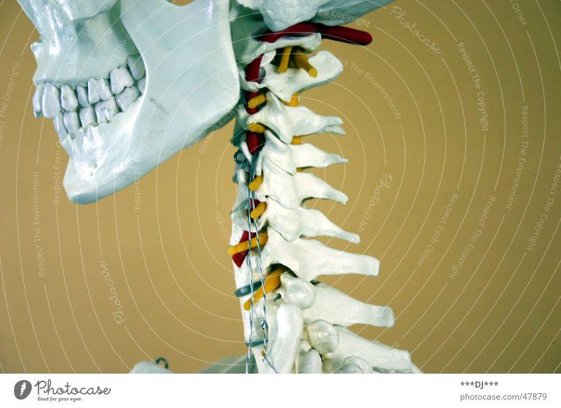 Death Head Health care Teeth Grinning Construction Neck Musculature Skeleton Death's head Fiber