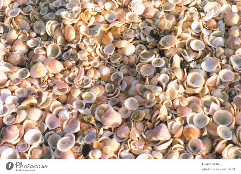 seashells Mussel Beach