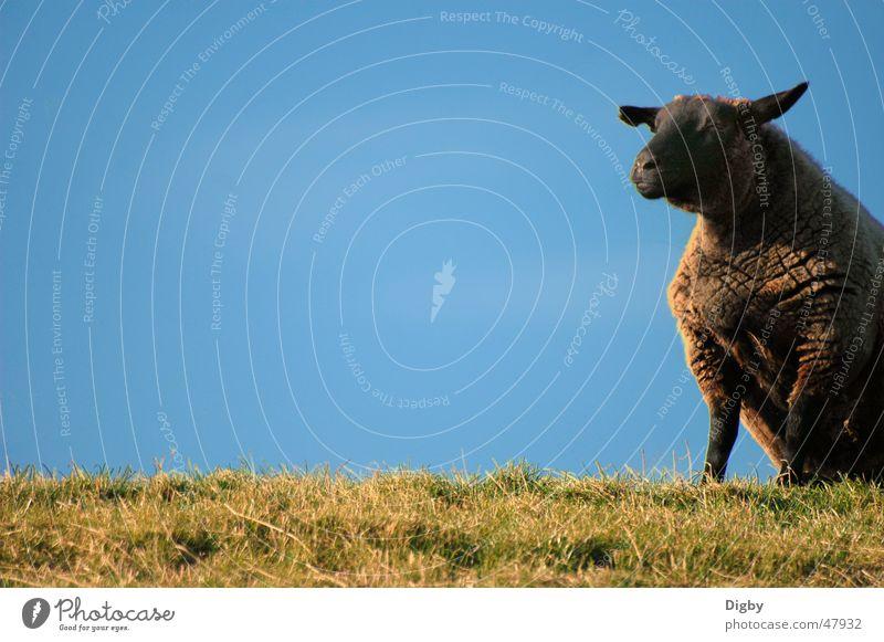 Sheep North Sea Dike Lamb