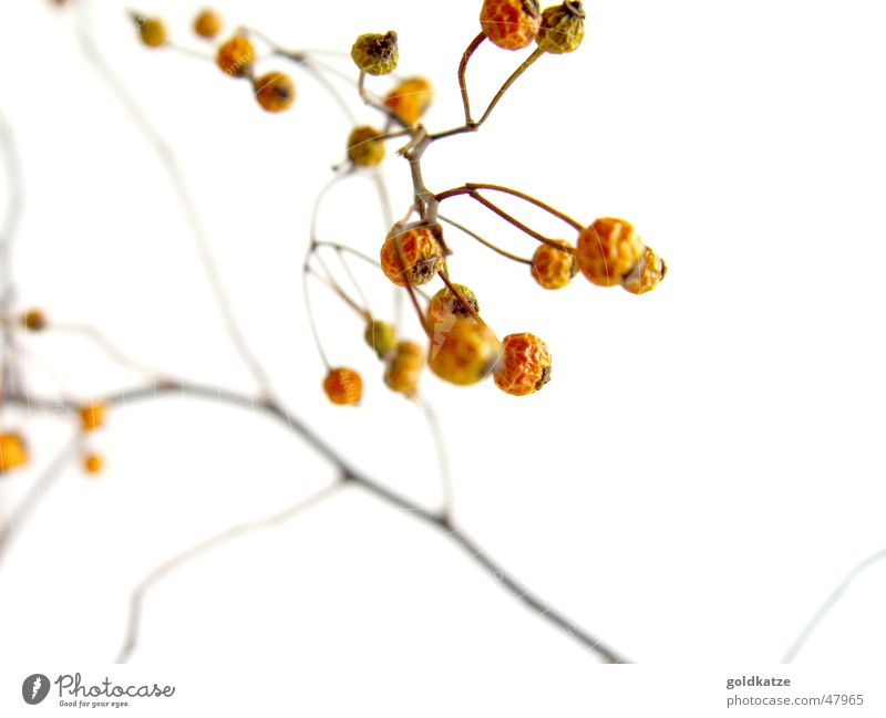 withered berries Winter Garden Plant Autumn Drought Bushes Park Sadness Faded To dry up Old Gloomy Dry Grief Death End Decline Transience Lose Change Berries