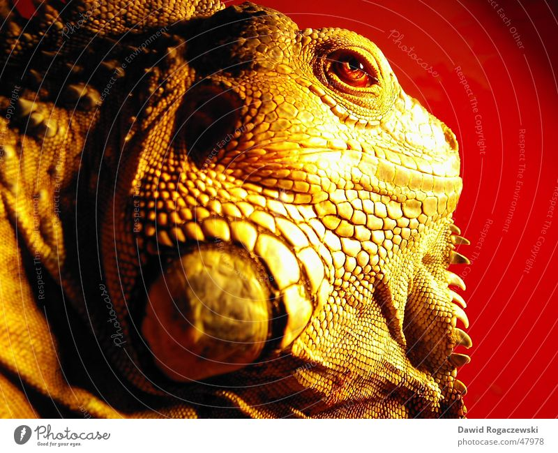 Red Dragon Saurians Dinosaur Iguana Primitive times Green Iguana