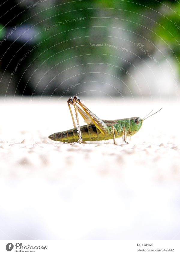 grasshopper Green White Insect Jump Animal Grass Locust Macro (Extreme close-up)