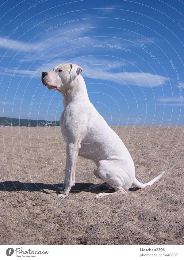 Animal Dog Profession Pet Hunter Argentina Mastiff Hound Argentine Dogo Purebred dog