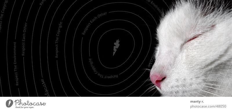 White Black Eyes Dream Cat Nose Sleep Pelt Landscape format