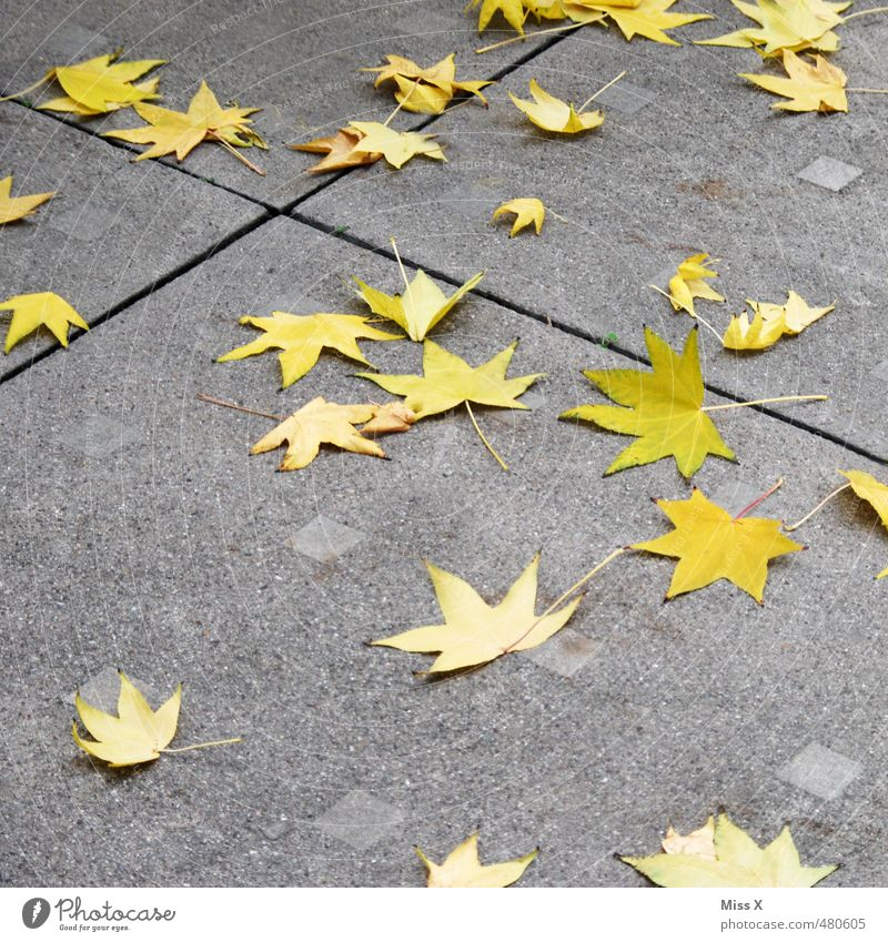 star thaler Autumn Leaf Street Lanes & trails To fall Faded To dry up Yellow Autumn leaves Star (Symbol) Maple leaf Norway maple star-shaped Starry sky