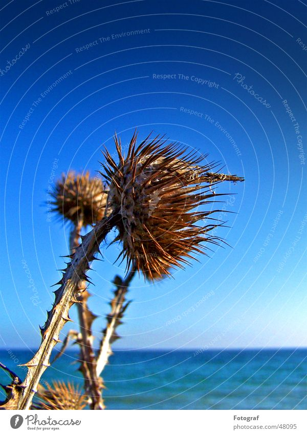 Sky Ocean Blue Plant Beach Lake Baltic Sea Thorn Pierce Thistle