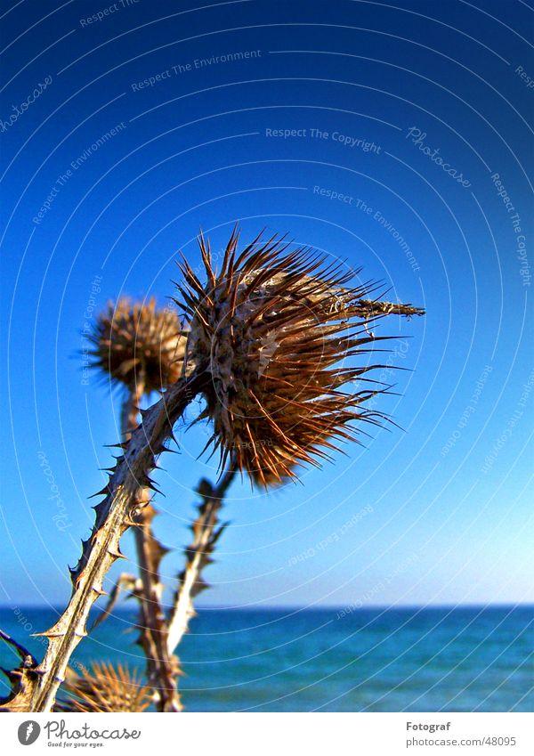 Sky Ocean Blue Plant Beach Lake Baltic Sea Thorn Pierce Thistle