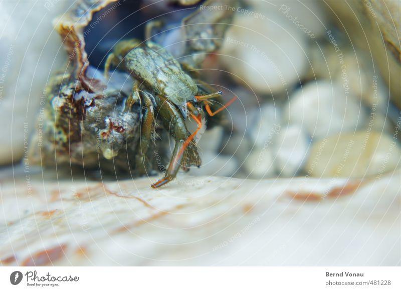 Blue White Red Animal Beach Black Eyes Coast Gray Brown Wet Crawl Mussel Feeler Pebble Shellfish