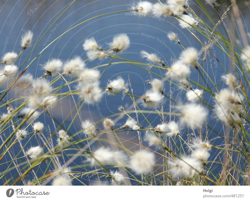 cottongrass jumble... Environment Nature Plant Water Spring Beautiful weather Grass Blossom Wild plant Cotton grass Bog Marsh Blossoming Growth Authentic