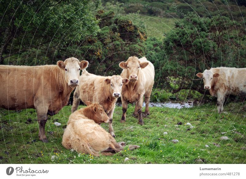 Animal Environment Meadow Healthy Lie Together Free Stand Observe Group of animals Uniqueness Curiosity Serene Attachment Society Cow