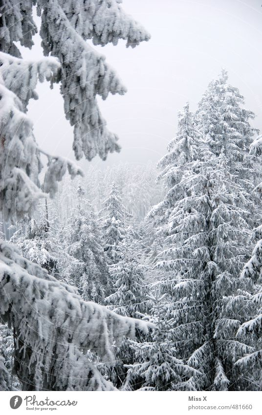 winter forest Winter Snow Weather Beautiful weather Fog Ice Frost Snowfall Tree Forest Cold Gray Winter forest Winter mood Snowscape Treetop Fir tree ox head