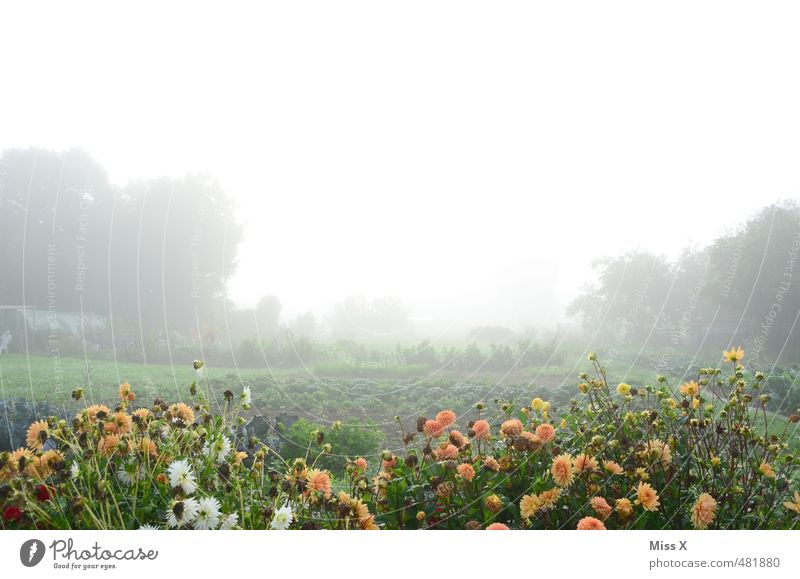 Flowers in the fog Garden Autumn Weather Bad weather Fog Blossom Blossoming Cold Wet Gloomy Moody Apocalyptic sentiment Flowerbed Dahlia Garden plot