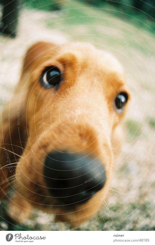 doggie eyes Dog Loyalty Large Odor Wide angle Snout Puppydog eyes Eyes Interest Nose