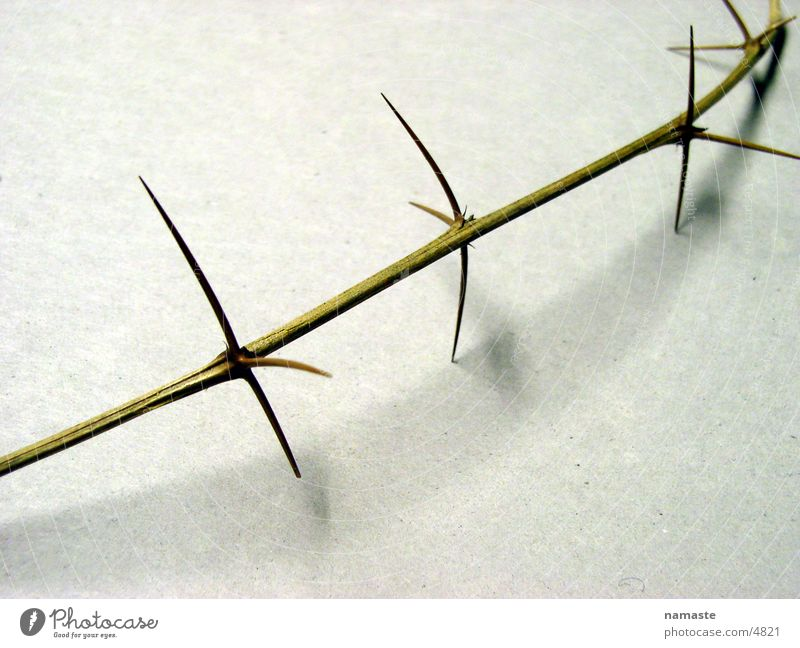 thorns pave his way 4 Thorn Distress Twig thorn branch