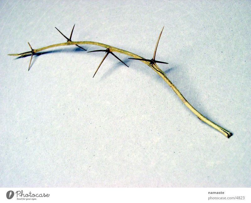 thorns pave his way Thorn Distress Thorny Things Twig Nature