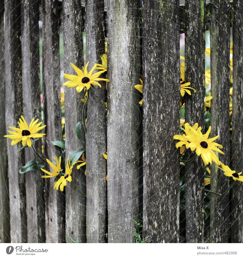 Summer Flower Yellow Emotions Autumn Garden Moody Power Success Growth Hope Blossoming Strong Fence Fragrance Wooden board