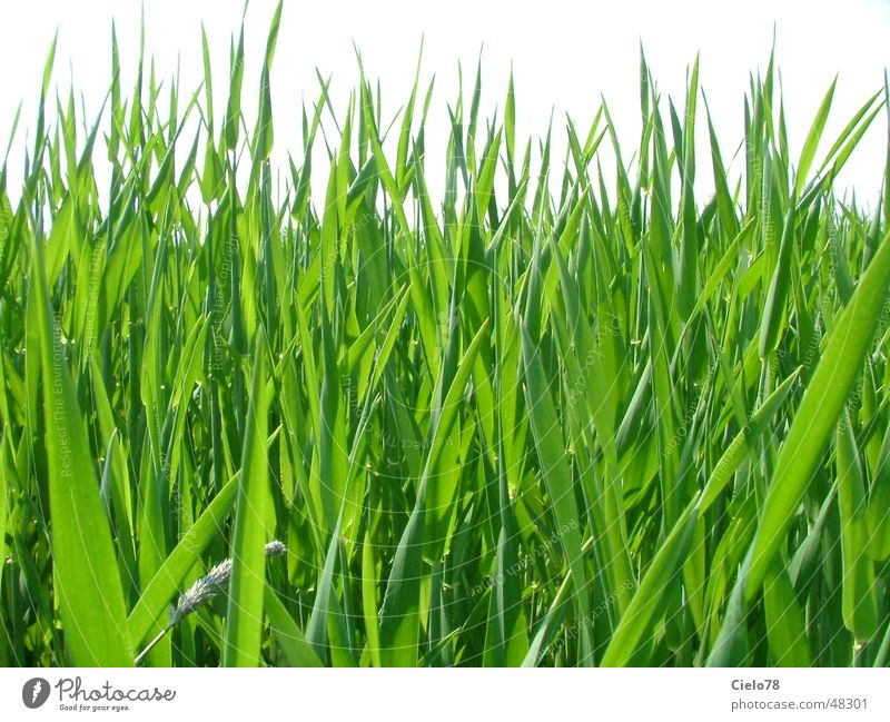 Nature Green Leaf Field Lawn Stalk Common Reed