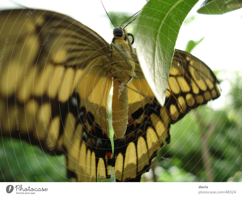 butterfly Butterfly Noble butterfly Plant Yellow Black Close-up Flying Macro (Extreme close-up)