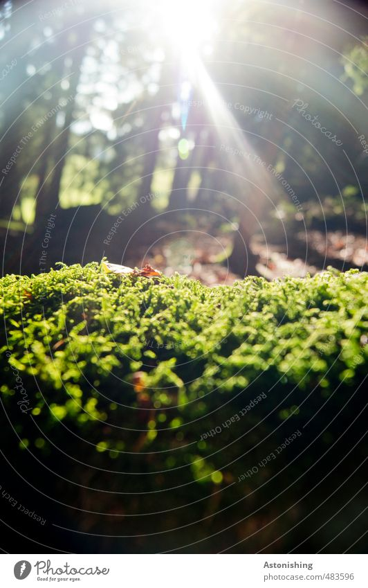 moss Environment Nature Landscape Plant Earth Sun Sunlight Autumn Weather Beautiful weather Warmth Tree Moss Leaf Foliage plant Forest Growth Bright Green