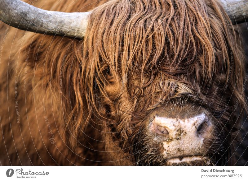 Scotish beef Vacation & Travel Farm animal Animal face 1 Brown Yellow Orange Black White Highland cattle Cattle Livestock Livestock breeding Agriculture Pelt