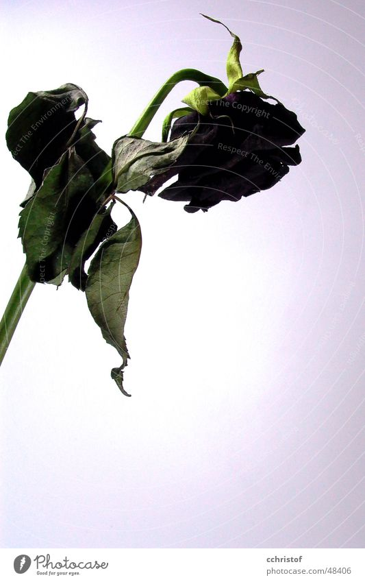 dead rose Rose Black Red Grief Death Old Limp
