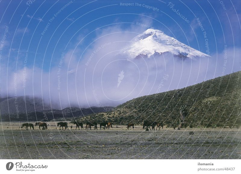 Wild horses in front of the Cotopaxi volcano in Ecuador Clouds South America Horse
