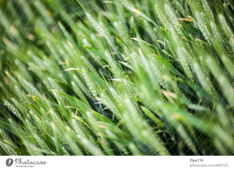 "unripe Environment Nature Plant Animal Foliage plant Agricultural crop Field Blossoming Growth Change ""Ear Agriculture Green Grain Ear of corn Wheat Farmer"