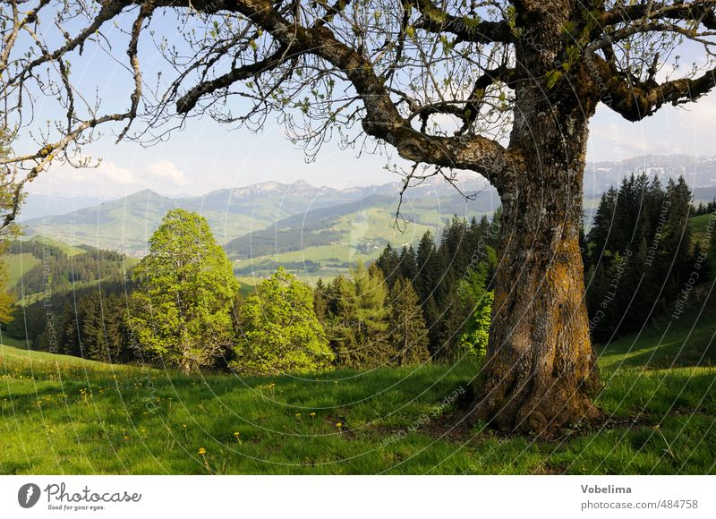 Tree at the Hundwiler Höhi Trip Summer Summer vacation Mountain Hiking Nature Landscape Cloudless sky Beautiful weather Forest Hill Alps Peak Natural Blue Brown