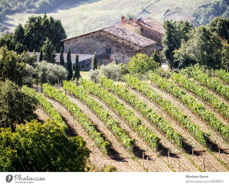 Vineyards in Tuscany Italian Food Alcoholic drinks Lifestyle Vacation & Travel Tourism Summer Summer vacation Sun Nature Plant Tree Bushes Agricultural crop